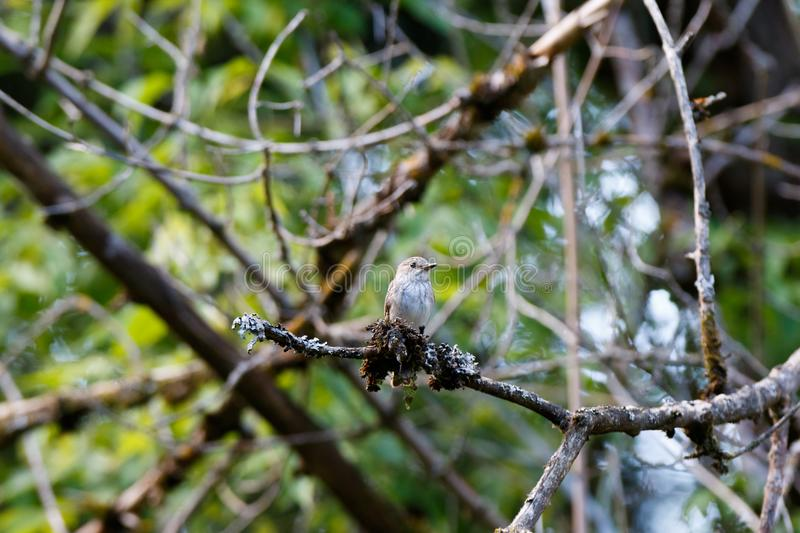 Flycatcher Muscicapa striata royalty free stock images