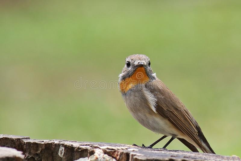 flycatcher Rosso-throated fotografie stock