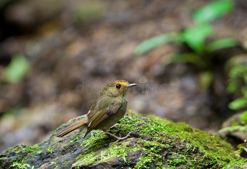 FLYCATCHER Rufous-browed images stock