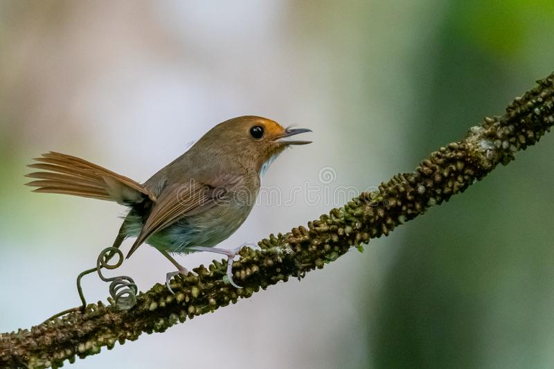 FLYCATCHER Rufous-browed mignon et minuscule étant perché sur une perche avec la queue se dirigeant  image libre de droits