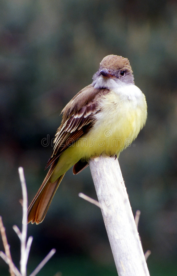 Download Flycatcher staring stock photo. Image of avian, face, alarm - 4022384