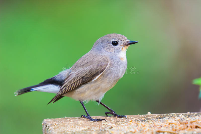 FLYCATCHER throated rouge photo stock