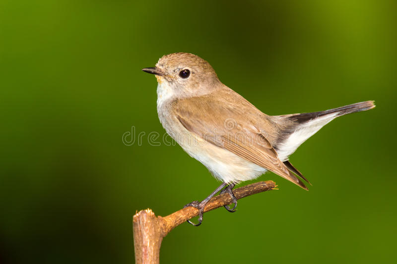 FLYCATCHER throated rouge photos stock