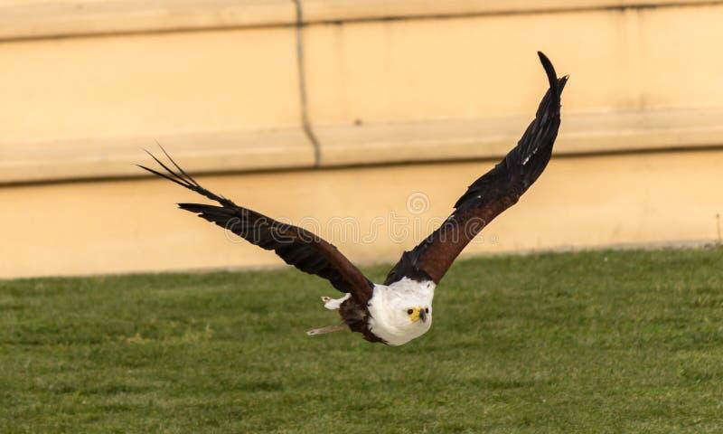 Flyg av Eagle royaltyfria bilder