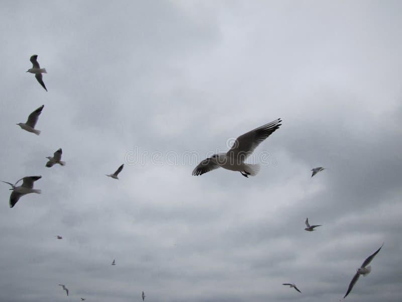 Flyg av flocken av fiskmåsar på en bakgrundshimmel arkivfoton