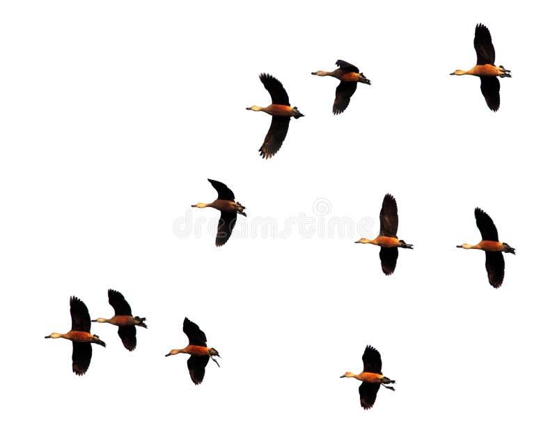 Flyg av flyttfåglar arkivfoton