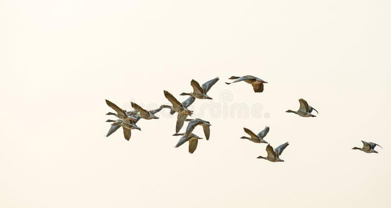 Flyg av gäss som flyger i himlen royaltyfria foton