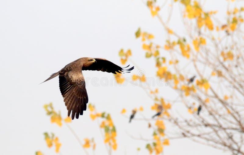 Download Flyg Eagle arkivfoto. Bild av spännvidd, fjädrar, härlig - 106830304