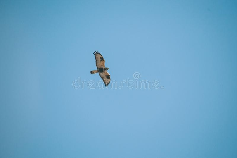 Flyg Eagle Isolated Blue Sky royaltyfria bilder
