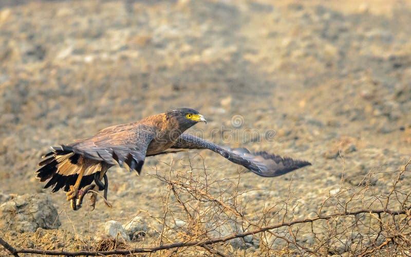 Flyg Eagle med byte arkivfoton