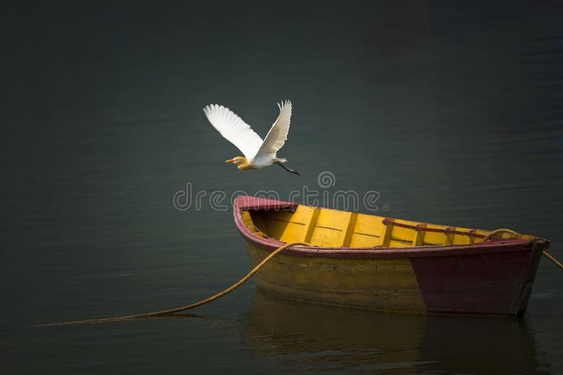 Flyg för fågel för nötkreaturägretthäger över sjön, en träfartygparkering på sjön arkivbild