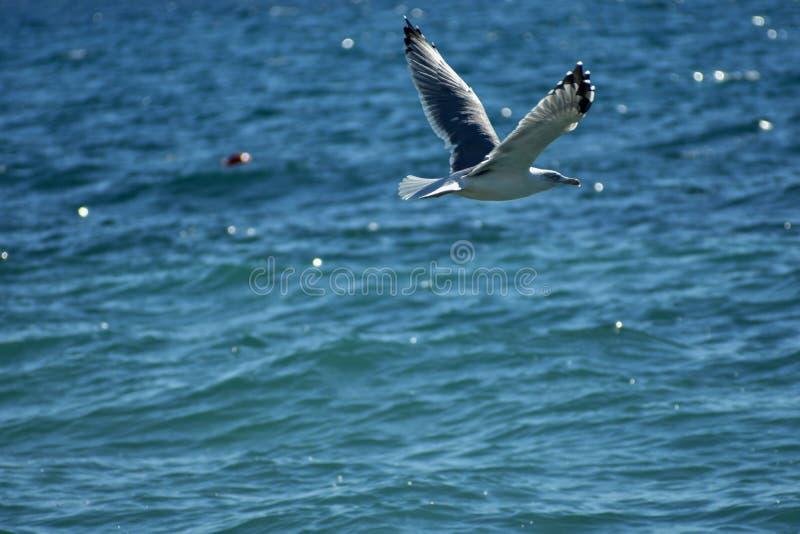 Flyg för fiskmås för vitt hav i den blåa soliga himlen över kusten av Kroatienhavet fotografering för bildbyråer