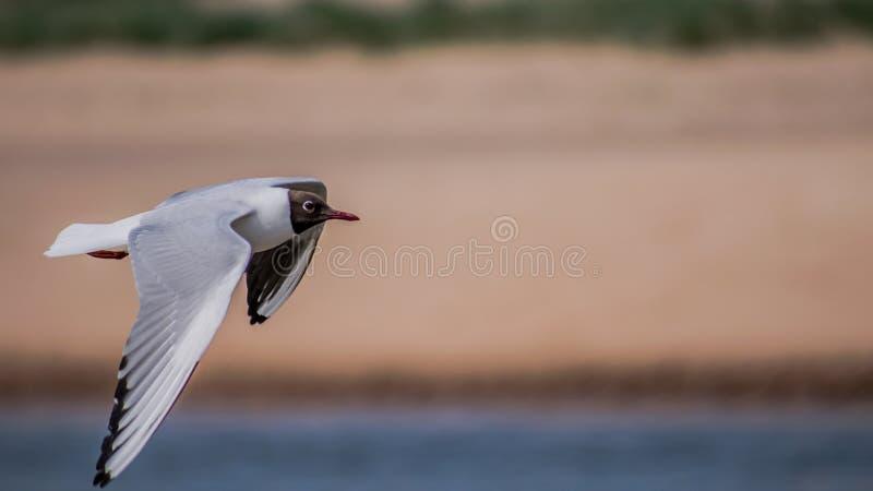 Flyg för havsfågel på kusten fotografering för bildbyråer
