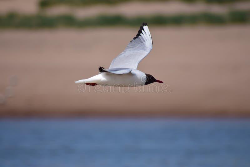 Flyg för havsfågel på kusten arkivfoton