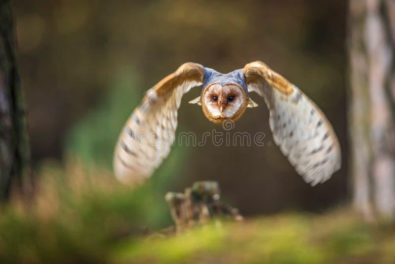 Flyg för ladugårduggla in i skog royaltyfri foto