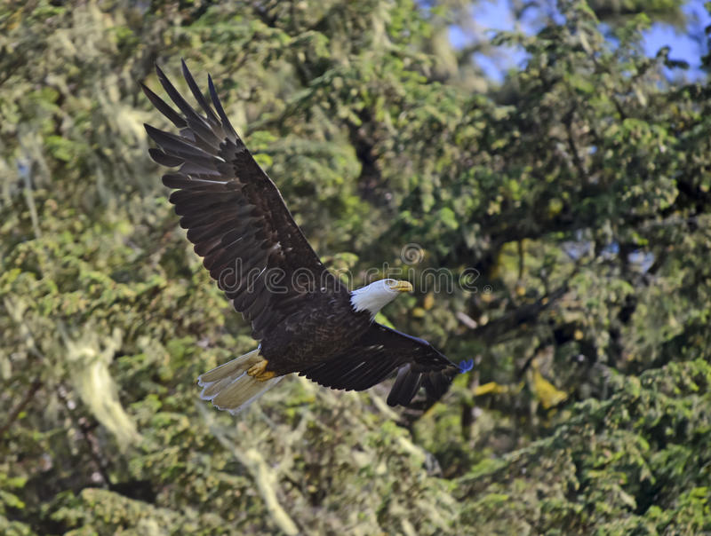 Flyg för skallig örn i skog fotografering för bildbyråer