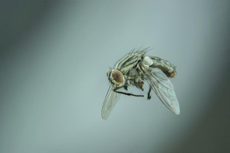 Flyg för svart fluga i hem royaltyfri foto
