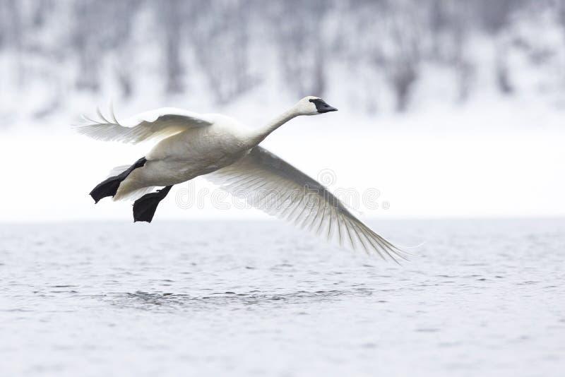 Flyg för trumpetaresvan ovanför floden royaltyfri fotografi