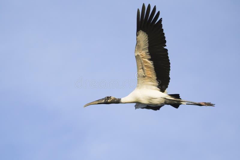 Flyg för Wood stork i den Pantanal regionen av Brasilien royaltyfri bild
