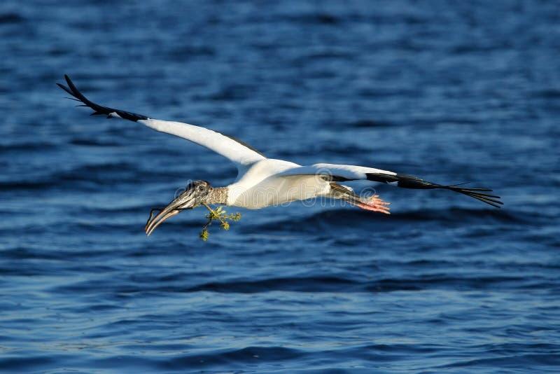 Flyg för Wood stork med att bygga bo material royaltyfri bild