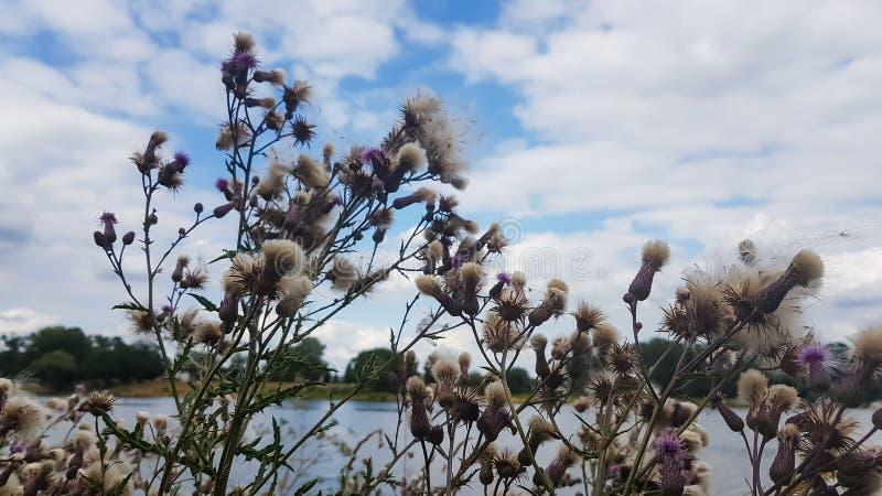 Flyg- frö av kardborren på en bakgrund av den blåa molnig himmel och floden royaltyfri foto