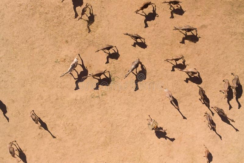 flyg- kamel deserterar fotografier royaltyfri foto