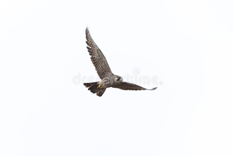 Flyg Peregrine Falcon arkivfoton