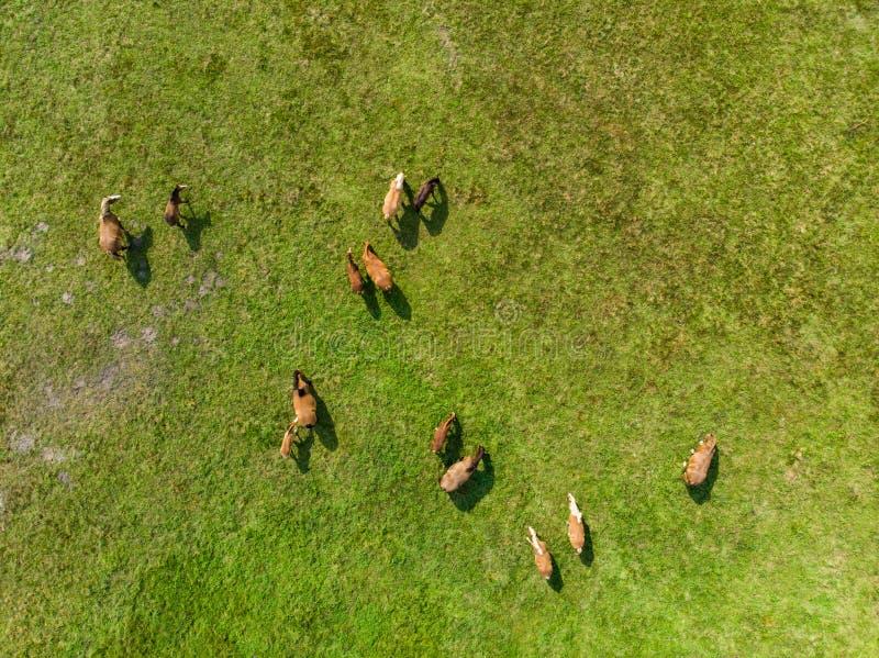 Flyg- sikt av att beta hästar på en äng Härligt bygdlandskap med hästar från över arkivbild