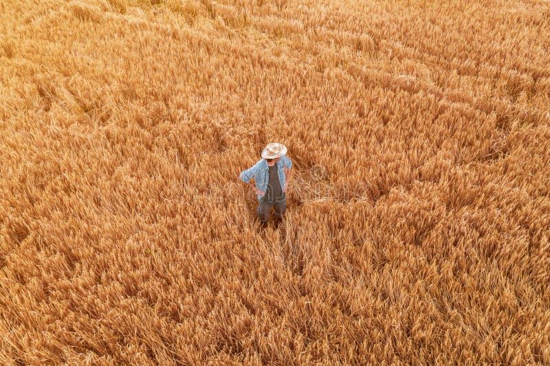 Flyg- sikt av bondeanseendet i moget kornskördfält royaltyfri bild