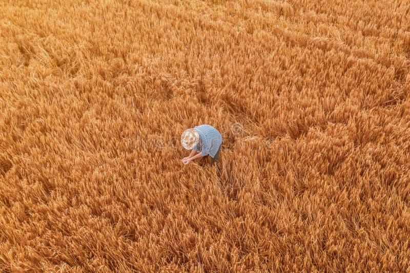 Flyg- sikt av bondeanseendet i moget kornskördfält arkivfoton