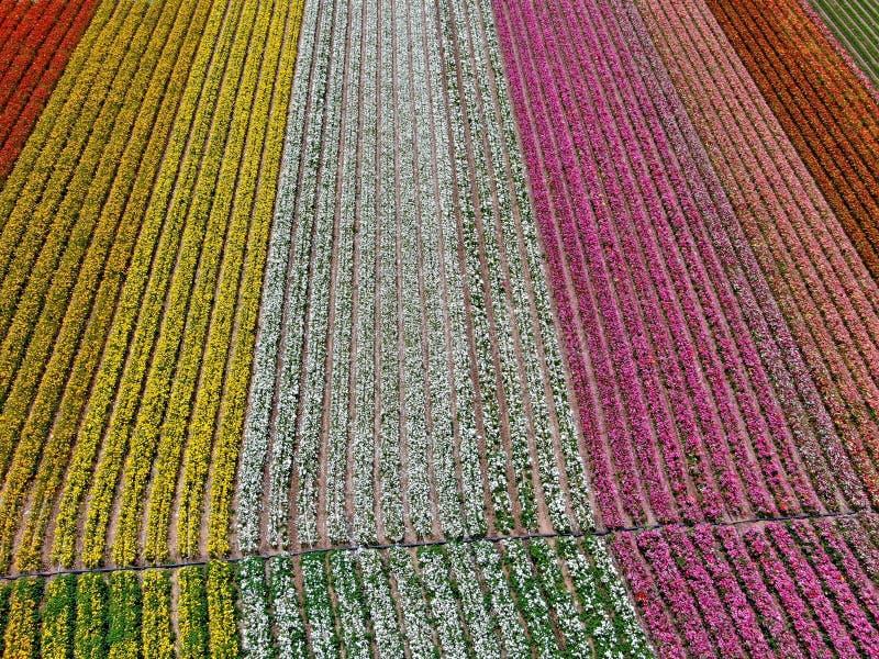 Flyg- sikt av Carlsbad blommafält royaltyfri foto