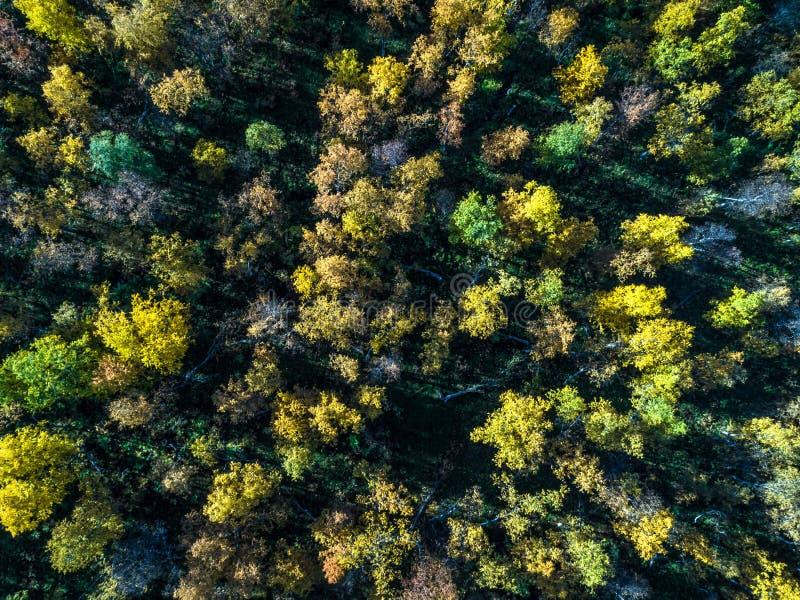 Flyg- sikt av den arktiska storbladiga skogen från överkant i höst med solen och strålar royaltyfria foton