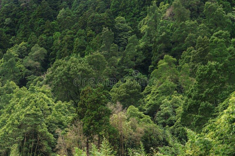 Flyg- sikt av den enorma gröna sunda pinjeskogen, panoramatextur arkivbild
