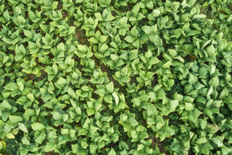 Flyg- sikt av den gröna tobakväxten royaltyfri bild