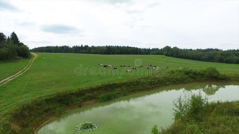 Flyg- sikt av det gröna fältet och sjön Flyga över fältet med grönt gräs och den lilla sjön Flyg- granskning av skogen nära arkivbilder