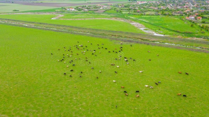 Flyg- sikt av kor på fält fotografering för bildbyråer