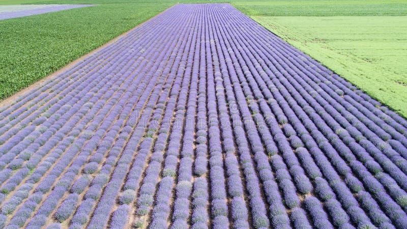 Flyg- sikt av lavendelfältet i diagonala ändlösa rader Lavendelblomma för bästa sikt nära Balchik, Bulgarien royaltyfria bilder