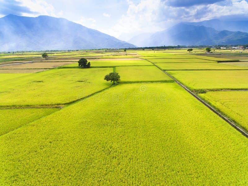 Flyg- sikt av risfältet royaltyfri foto
