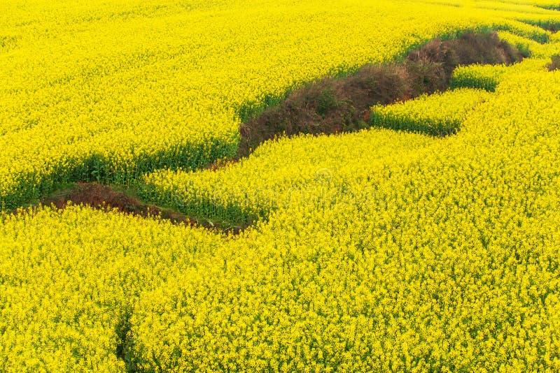 Flyg- sikt av senapsgula terrassfält på vår, färgrika blommor av oavkortad blom för senapsgult växt Yunnan Kina arkivfoton