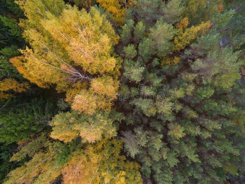Flyg- sikt av skogen i höst Sidor av träd målas i olika ljusa färger fotografering för bildbyråer