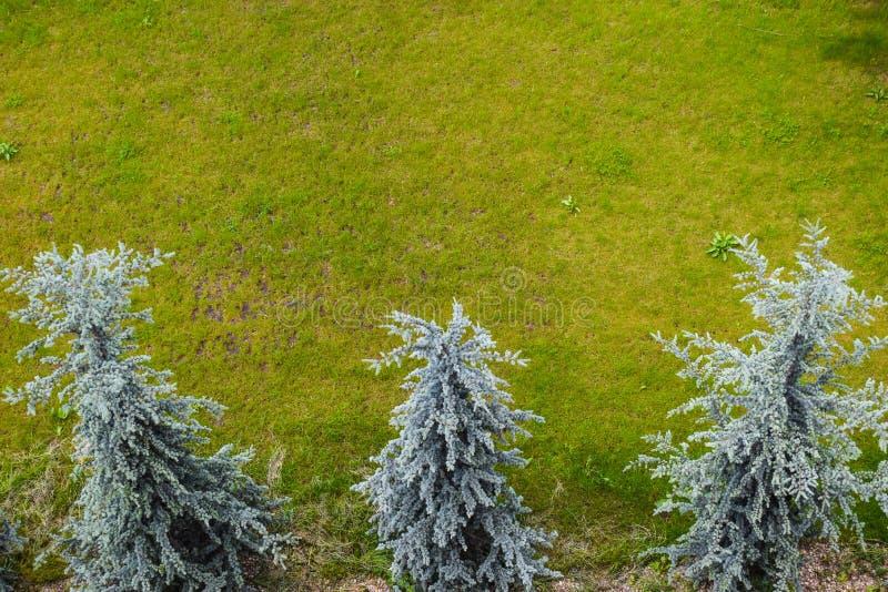 Flyg- sikt av tre vita granar med grönt gräs Abies concoloren, den vita granen, är ett barrträd i sörjer familjpinaceaen arkivfoton