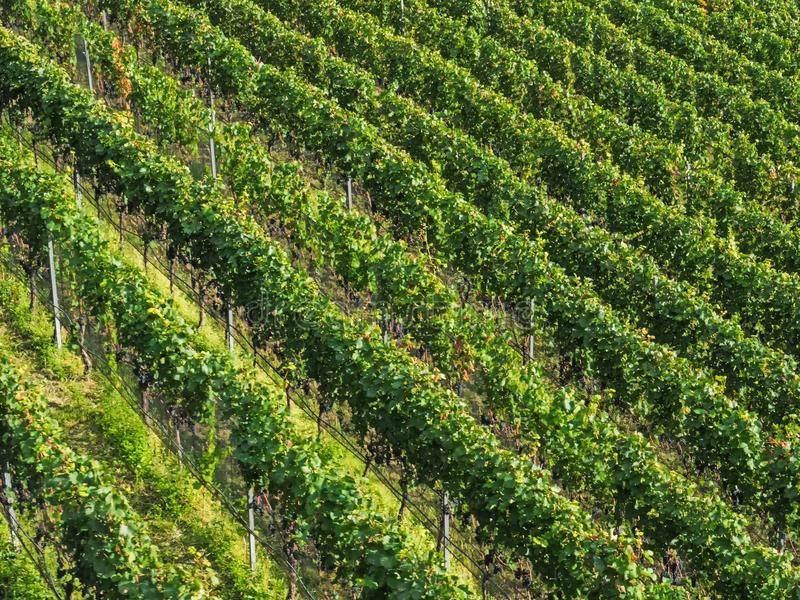 Flyg- sikt av vingårdar, södra Tyrol arkivbilder