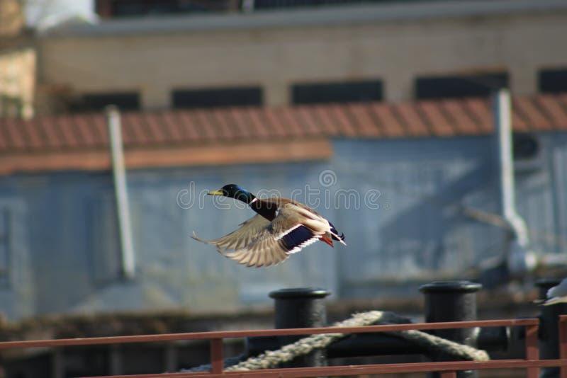 Flyga änder royaltyfri fotografi