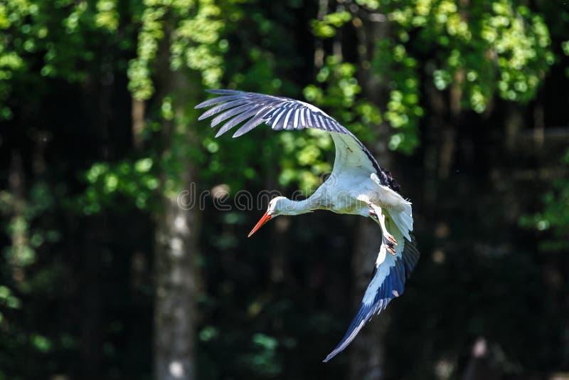 Flyga den europeiska vita storken, parkerar Ciconiaciconia i en tysk natur arkivfoton