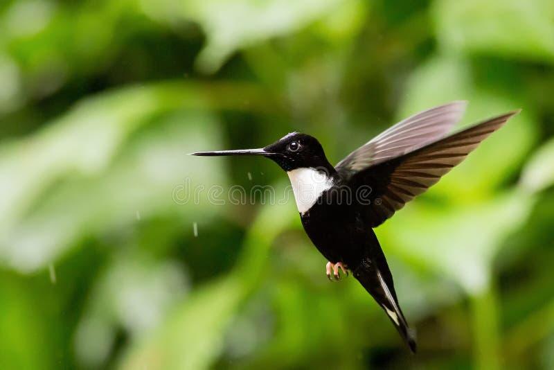 Flyga den försåg med krage incaen fotografering för bildbyråer