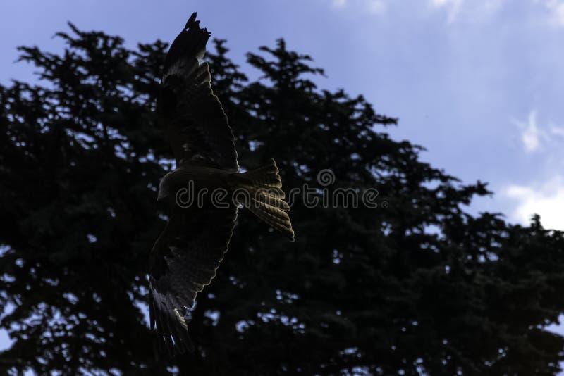 Flyga den röda draken/den Milvus milvusen över träden royaltyfri foto