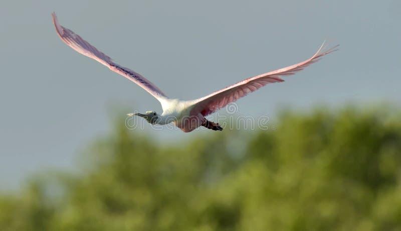 Flyga den roseate spoonbillen (Plataleaajajaen) royaltyfria foton
