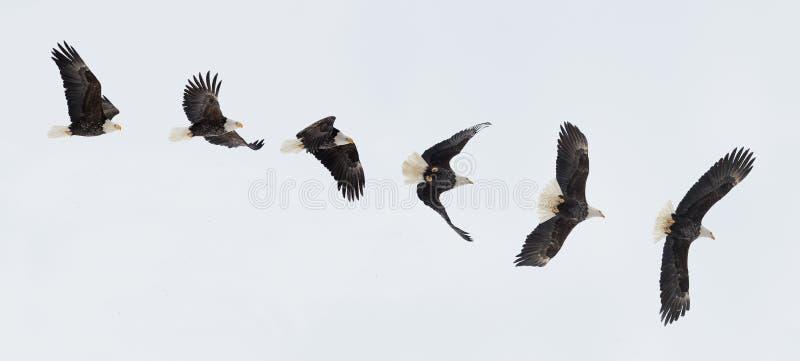 Flyga den skalliga örnen royaltyfria bilder