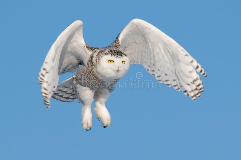 Flyga den snöig ugglan (Buboscandiacusen) arkivfoto
