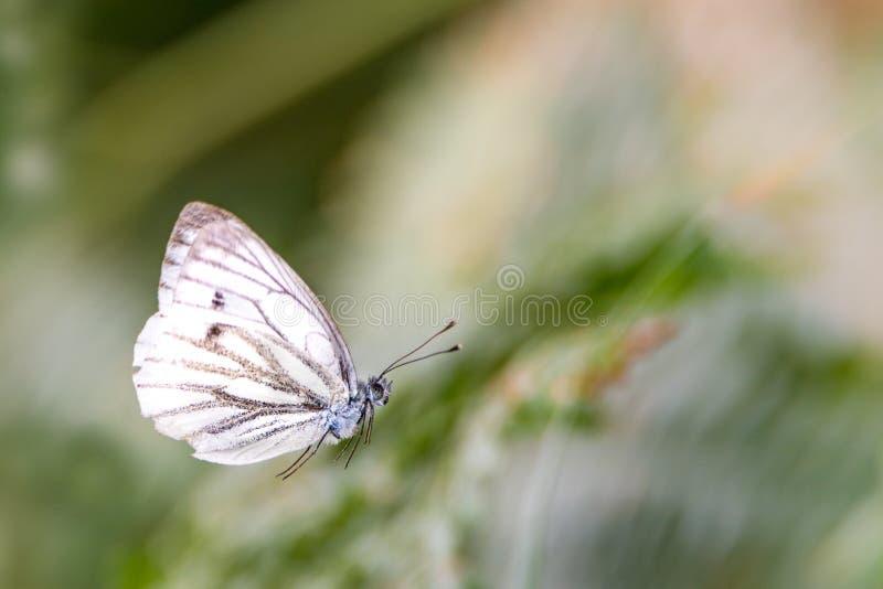 Flyga den vita fjärilen framme av suddig grön bakgrund fotografering för bildbyråer